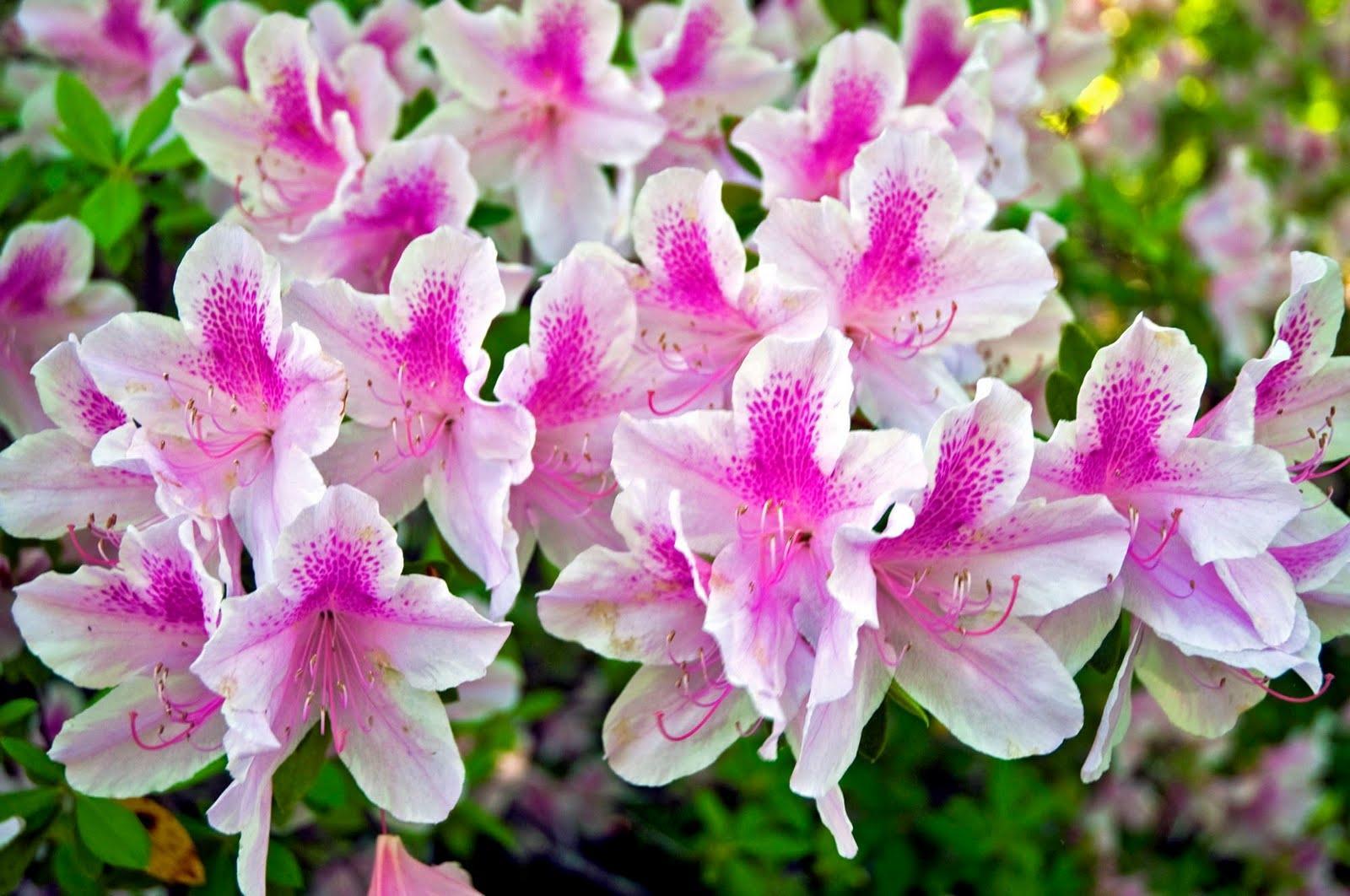 As azaleias vivem sob o sol e meiasombra e sua floração acontece no